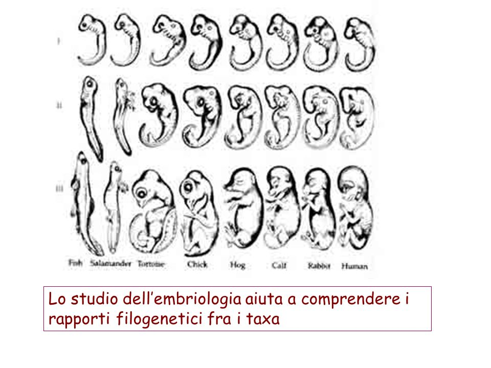 Lo studio dell'embriologia aiuta a comprendere i rapporti filogenetici fra i taxa