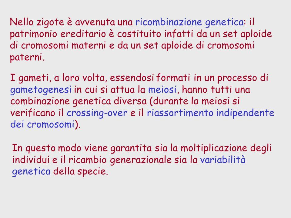Nello zigote è avvenuta una ricombinazione genetica: il patrimonio ereditario è costituito infatti da un set aploide di cromosomi materni e da un set aploide di cromosomi paterni.