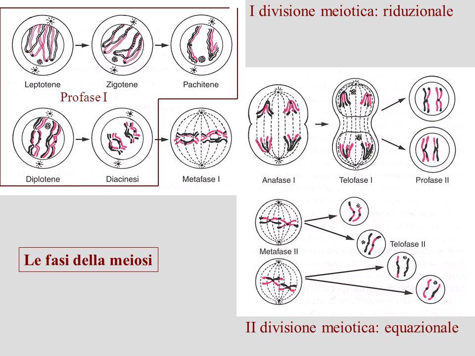 I divisione meiotica: riduzionale