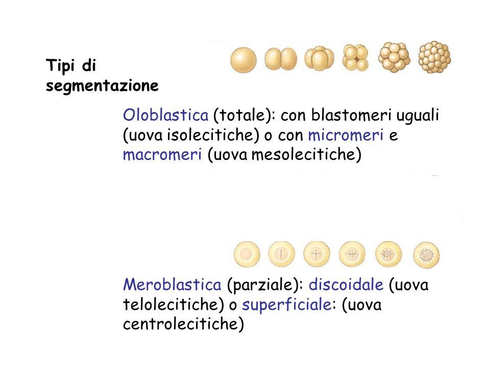 Tipi di segmentazione Oloblastica (totale): con blastomeri uguali (uova isolecitiche) o con micromeri e macromeri (uova mesolecitiche)