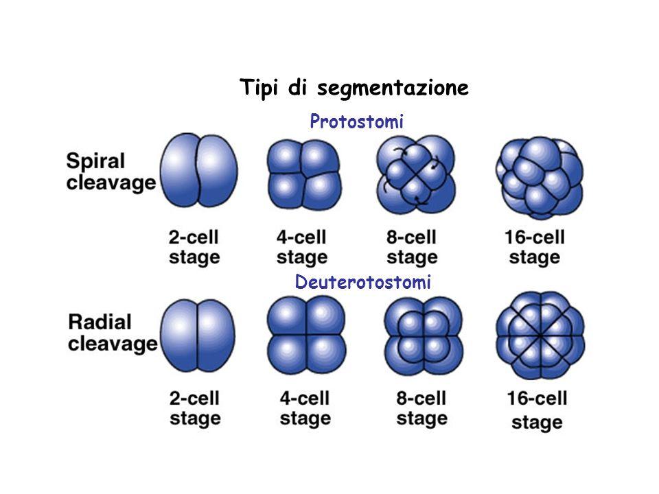 Tipi di segmentazione Protostomi Deuterotostomi