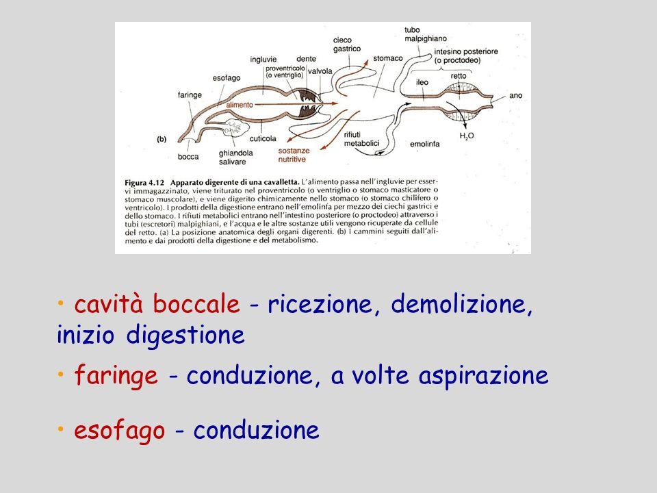 cavità boccale - ricezione, demolizione, inizio digestione