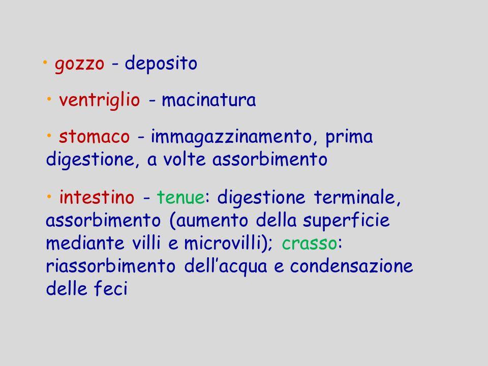 gozzo - deposito ventriglio - macinatura. stomaco - immagazzinamento, prima digestione, a volte assorbimento.