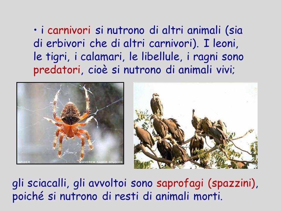 i carnivori si nutrono di altri animali (sia di erbivori che di altri carnivori). I leoni, le tigri, i calamari, le libellule, i ragni sono predatori, cioè si nutrono di animali vivi;