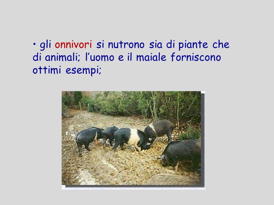 gli onnivori si nutrono sia di piante che di animali; l'uomo e il maiale forniscono ottimi esempi;