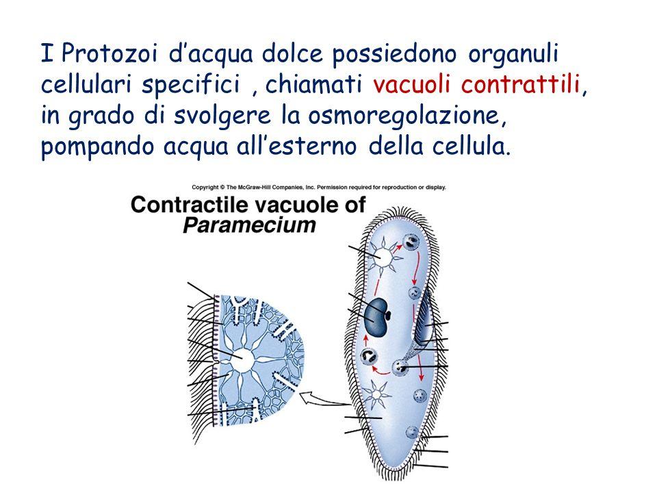 I Protozoi d'acqua dolce possiedono organuli cellulari specifici , chiamati vacuoli contrattili, in grado di svolgere la osmoregolazione, pompando acqua all'esterno della cellula.
