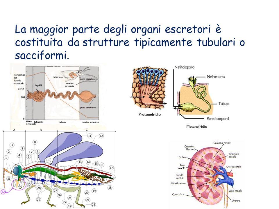 La maggior parte degli organi escretori è costituita da strutture tipicamente tubulari o sacciformi.