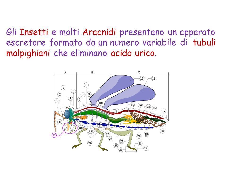 Gli Insetti e molti Aracnidi presentano un apparato escretore formato da un numero variabile di tubuli malpighiani che eliminano acido urico.