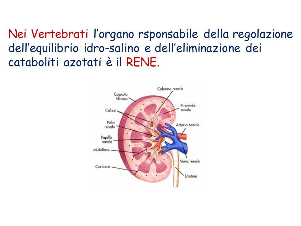Nei Vertebrati l'organo rsponsabile della regolazione dell'equilibrio idro-salino e dell'eliminazione dei cataboliti azotati è il RENE.