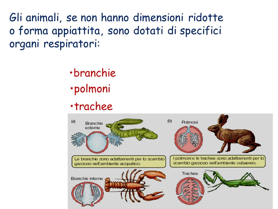 Gli animali, se non hanno dimensioni ridotte o forma appiattita, sono dotati di specifici organi respiratori: