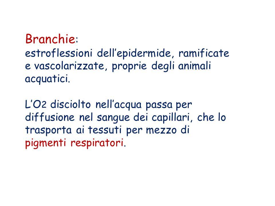 Branchie: estroflessioni dell'epidermide, ramificate e vascolarizzate, proprie degli animali acquatici.