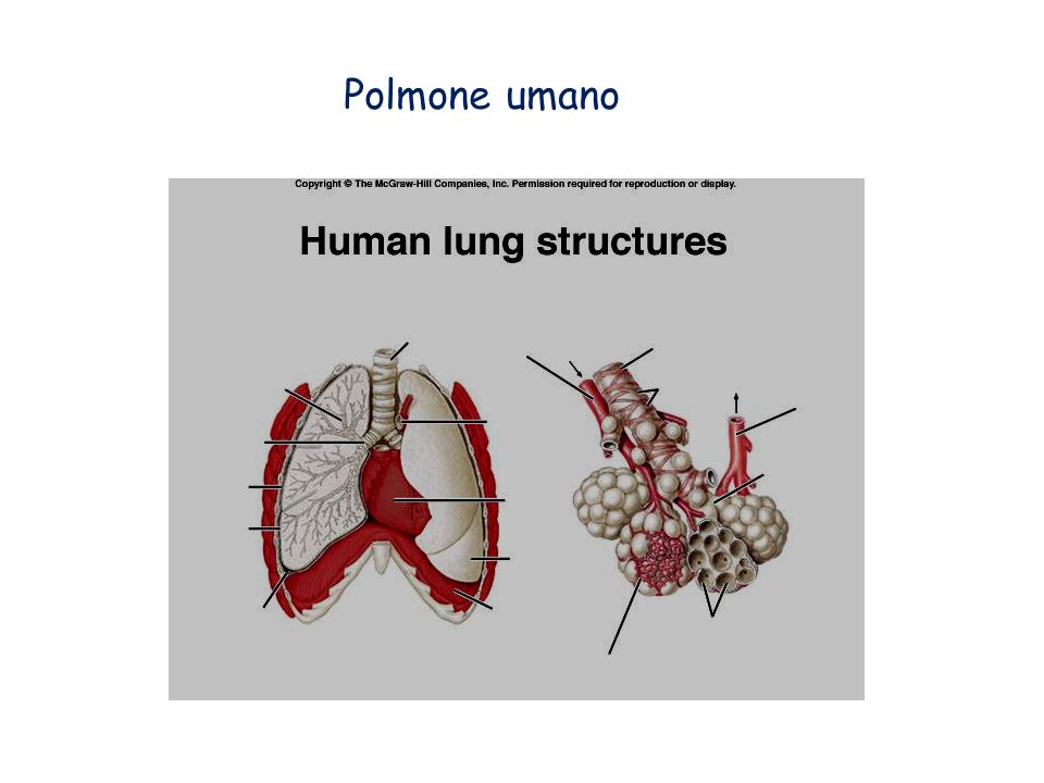 Polmone umano