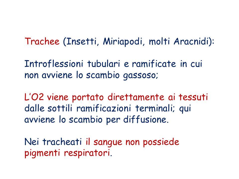 Trachee (Insetti, Miriapodi, molti Aracnidi):