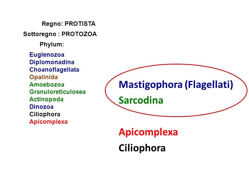 Mastigophora (Flagellati) Sarcodina Apicomplexa Ciliophora