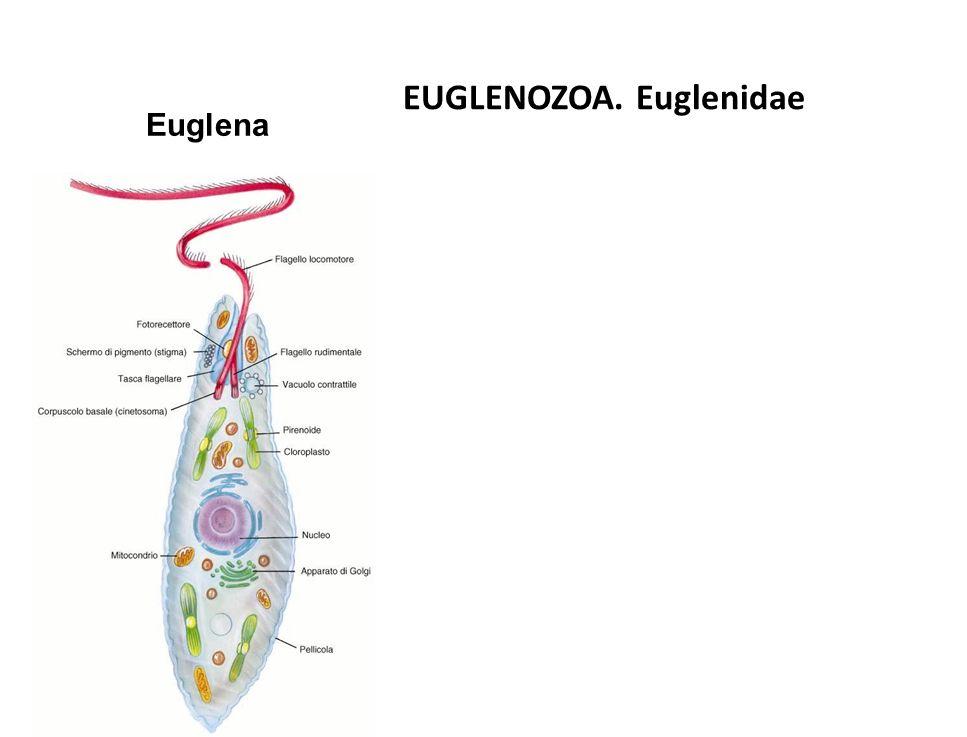 EUGLENOZOA. Euglenidae