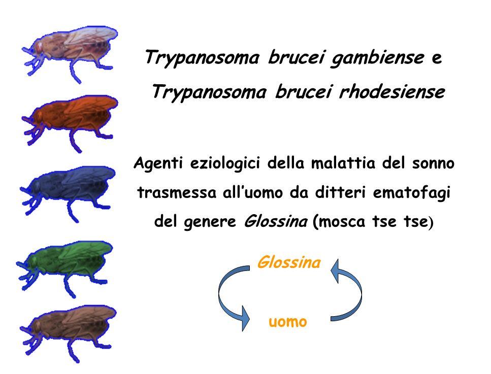 Trypanosoma brucei gambiense e Trypanosoma brucei rhodesiense