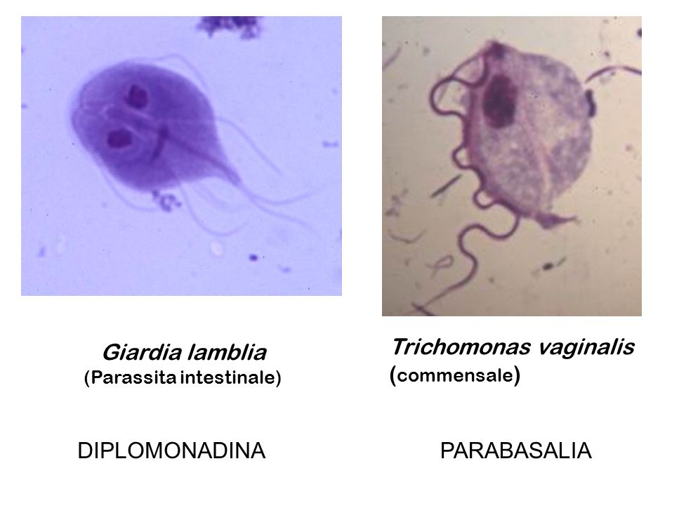 (Parassita intestinale)