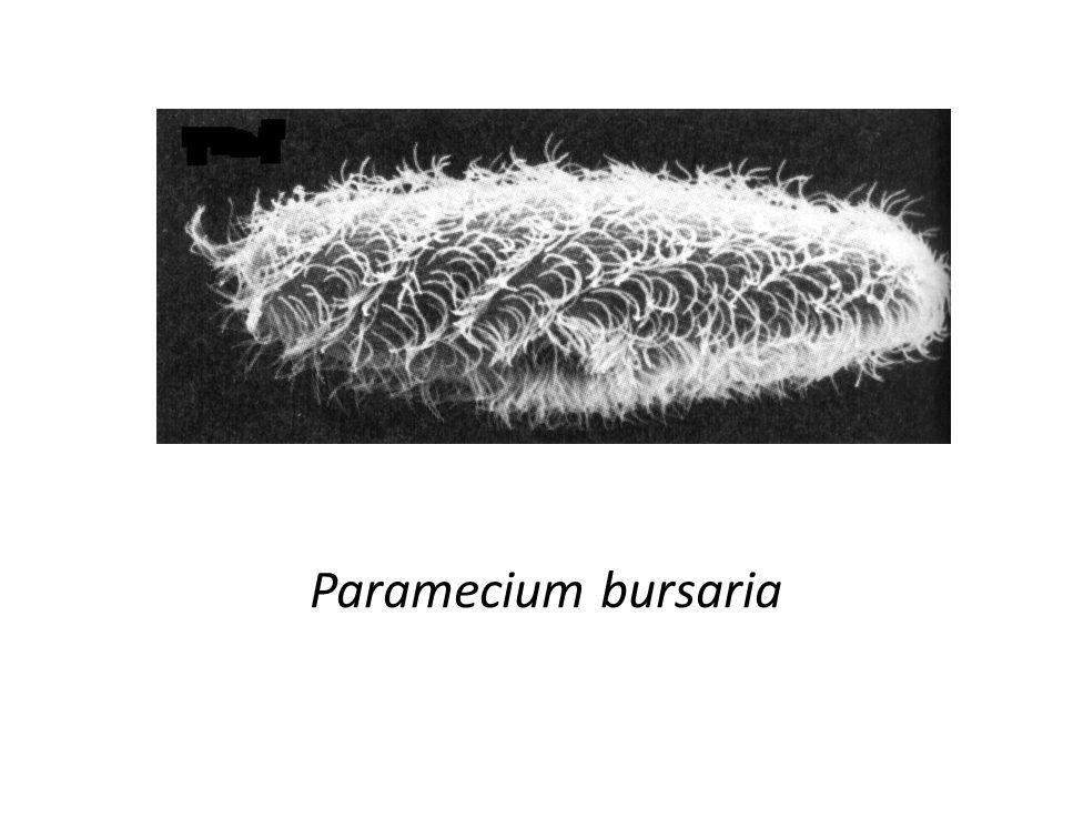 Paramecium bursaria