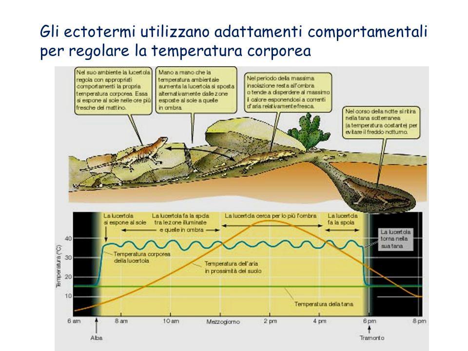 Gli ectotermi utilizzano adattamenti comportamentali