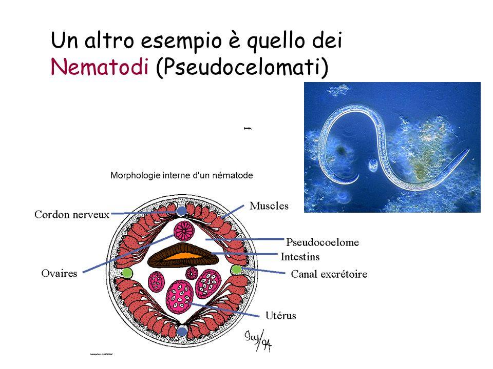 Un altro esempio è quello dei Nematodi (Pseudocelomati)