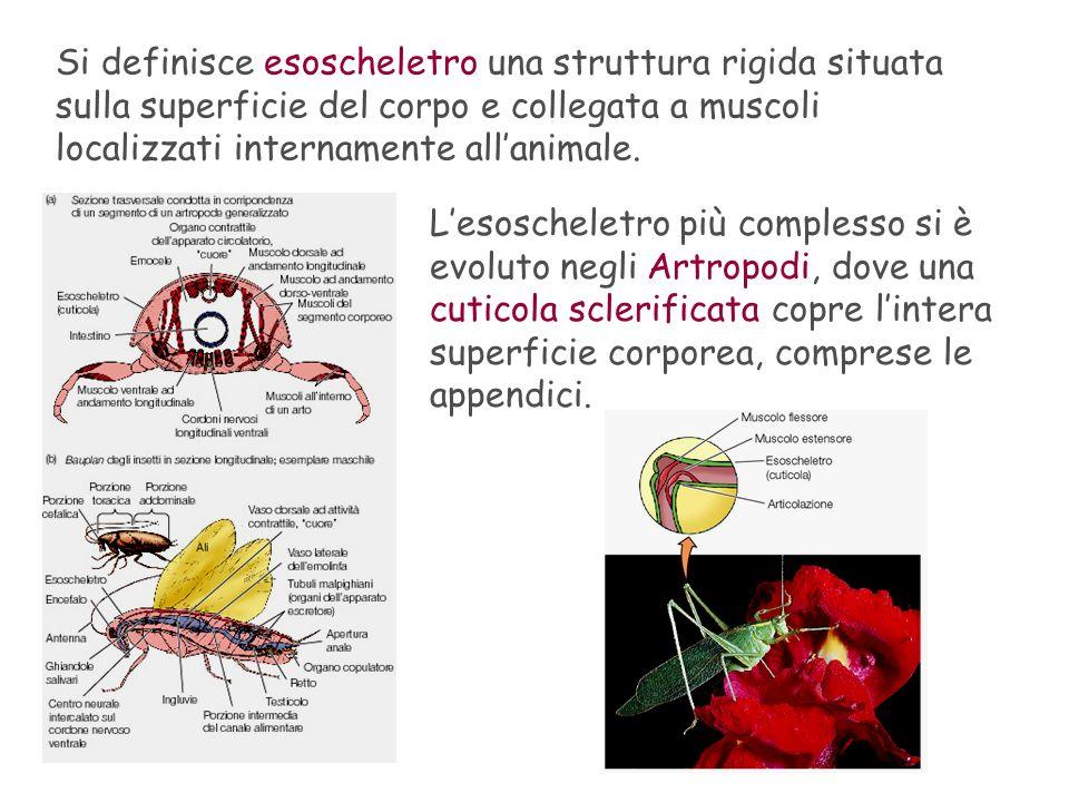 Si definisce esoscheletro una struttura rigida situata sulla superficie del corpo e collegata a muscoli localizzati internamente all'animale.