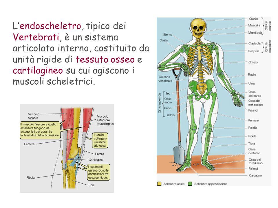 L'endoscheletro, tipico dei Vertebrati, è un sistema articolato interno, costituito da unità rigide di tessuto osseo e cartilagineo su cui agiscono i muscoli scheletrici.