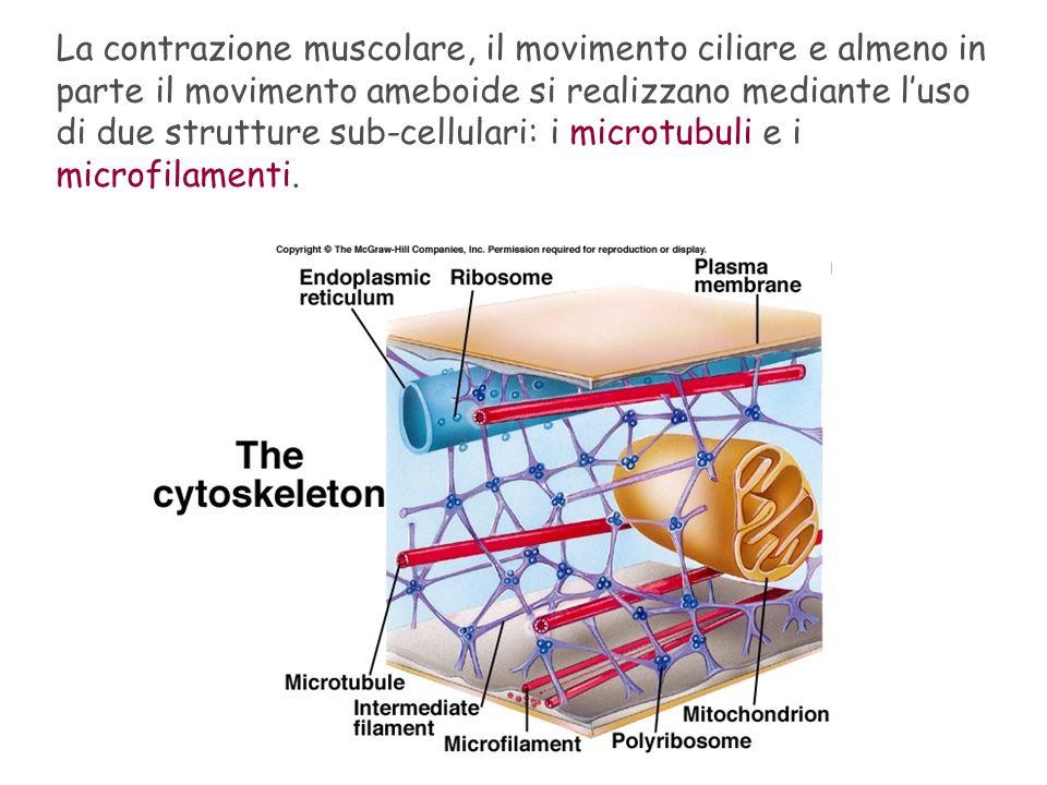 La contrazione muscolare, il movimento ciliare e almeno in parte il movimento ameboide si realizzano mediante l'uso di due strutture sub-cellulari: i microtubuli e i microfilamenti.