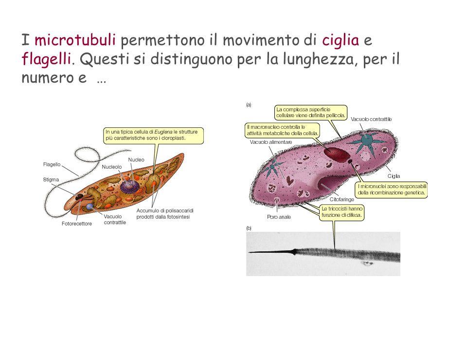 I microtubuli permettono il movimento di ciglia e flagelli