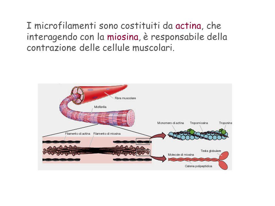 I microfilamenti sono costituiti da actina, che interagendo con la miosina, è responsabile della contrazione delle cellule muscolari.