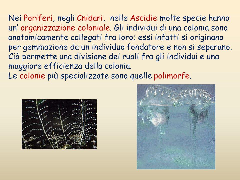 Nei Poriferi, negli Cnidari, nelle Ascidie molte specie hanno