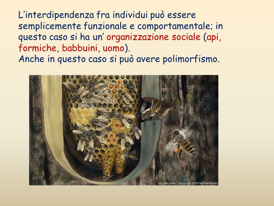L'interdipendenza fra individui può essere semplicemente funzionale e comportamentale; in questo caso si ha un' organizzazione sociale (api, formiche, babbuini, uomo).