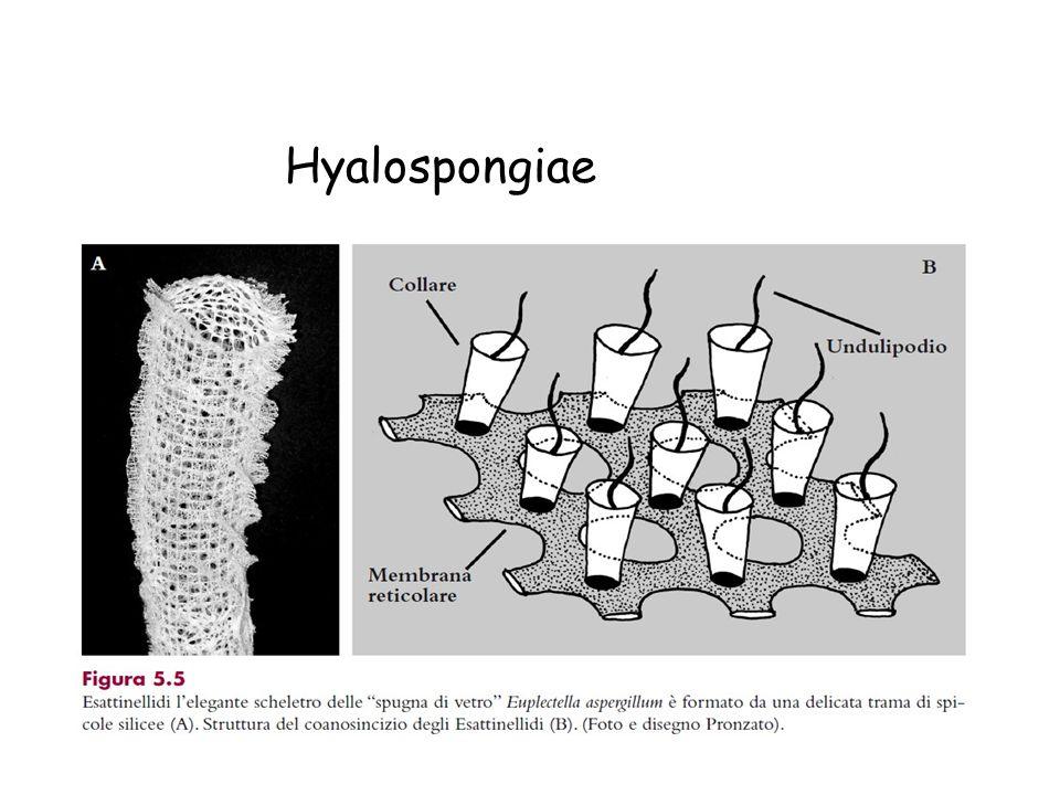Hyalospongiae