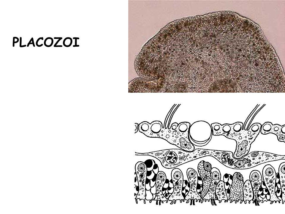 PLACOZOI