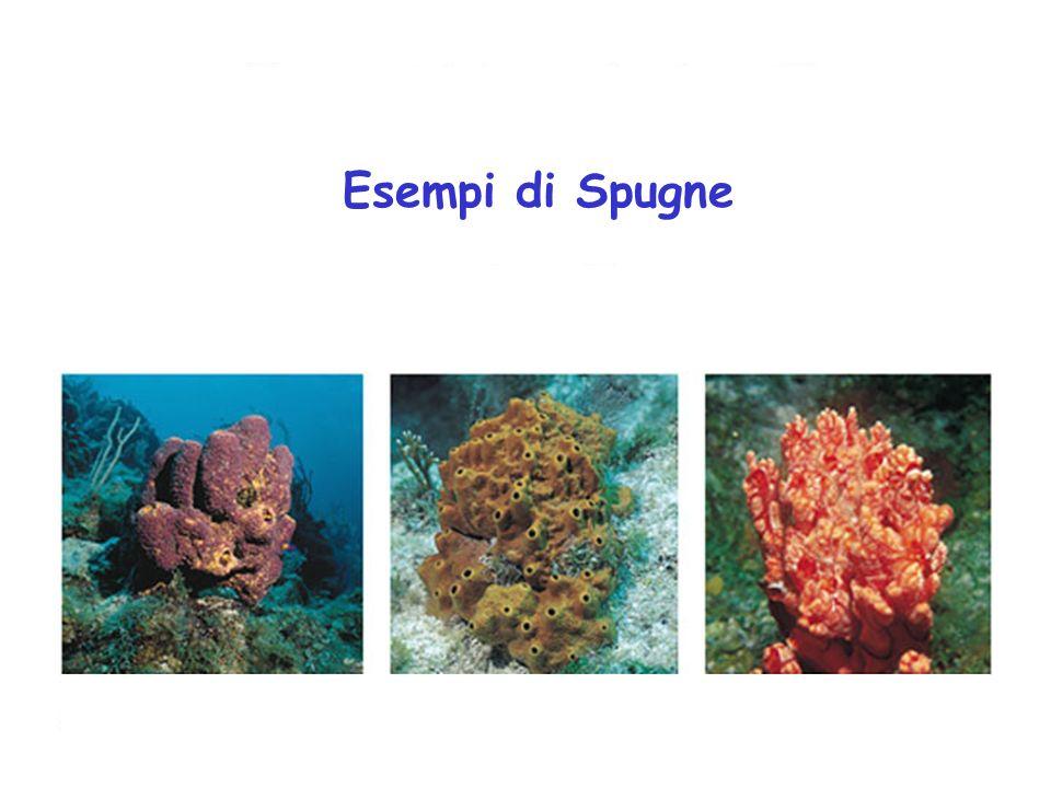 Esempi di Spugne