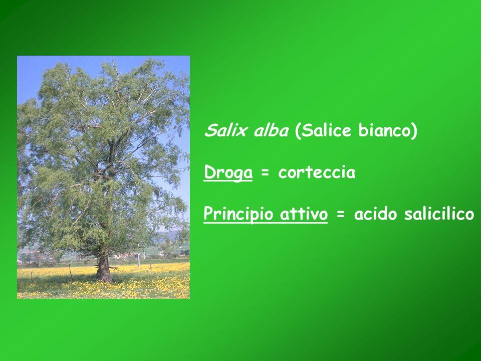Salix alba (Salice bianco)