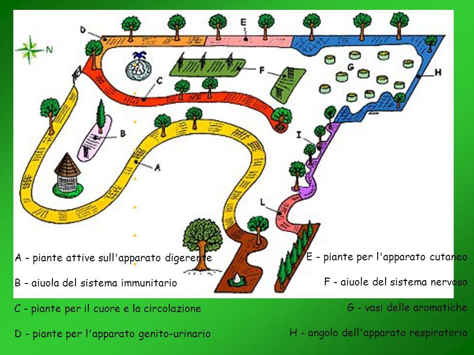 A - piante attive sull apparato digerente B - aiuola del sistema immunitario C - piante per il cuore e la circolazione D - piante per l apparato genito-urinario