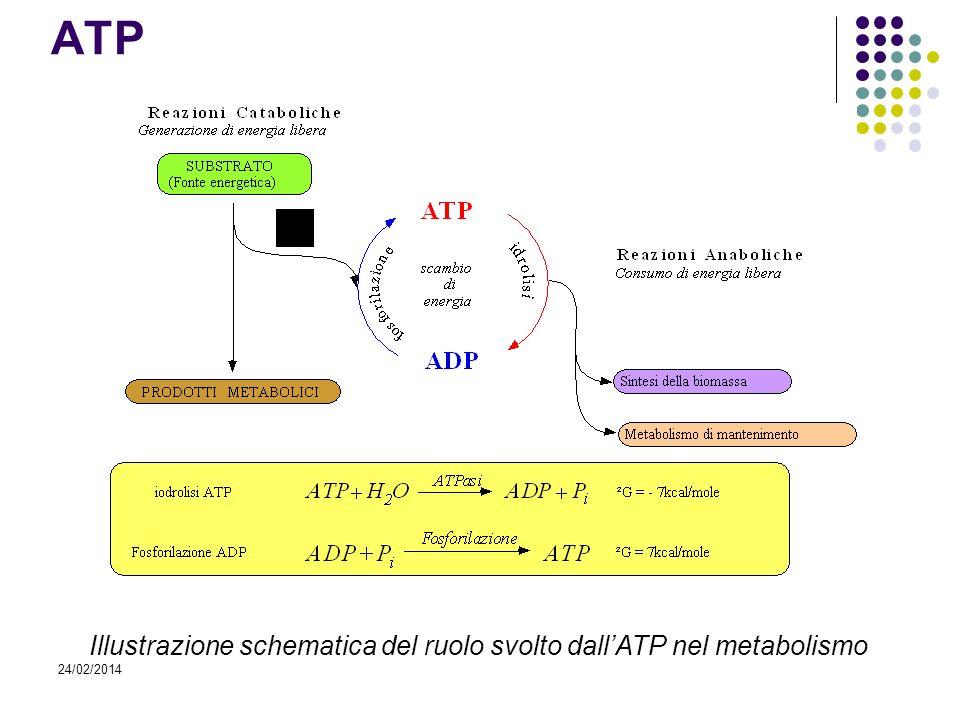 ATP Illustrazione schematica del ruolo svolto dall'ATP nel metabolismo