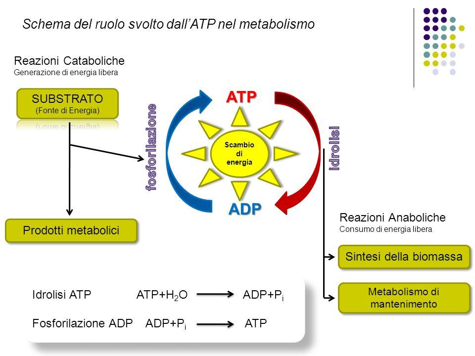 ATP ADP Schema del ruolo svolto dall'ATP nel metabolismo