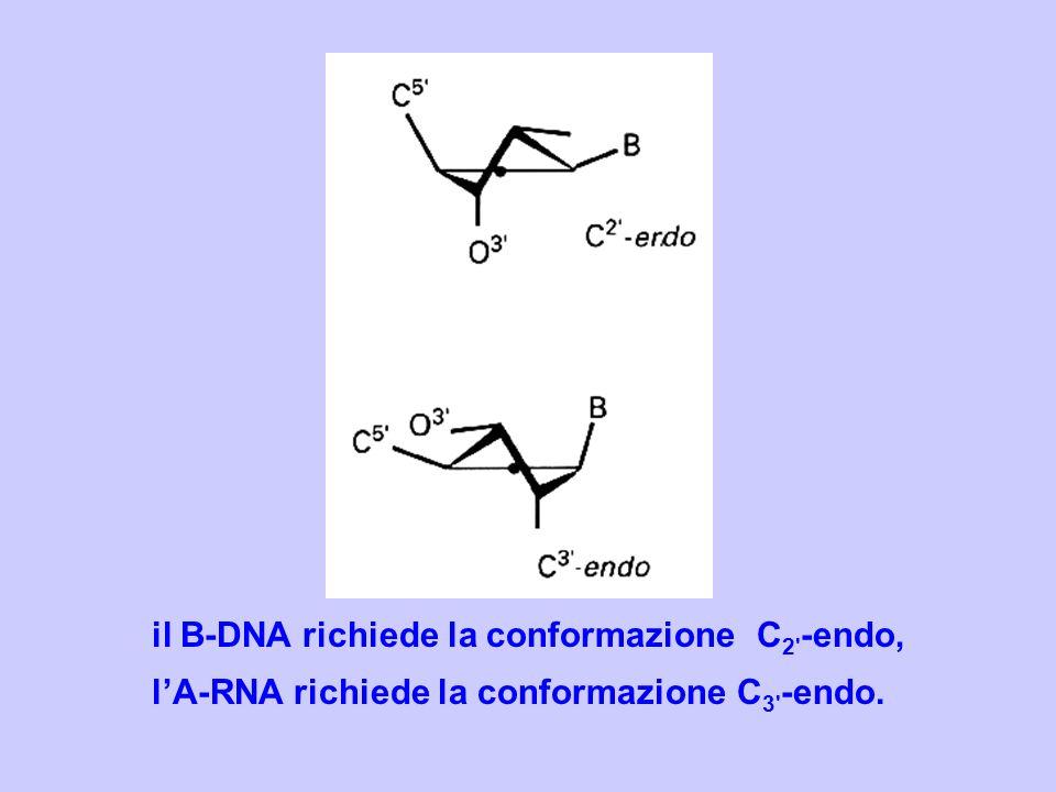 il B-DNA richiede la conformazione C2 -endo,