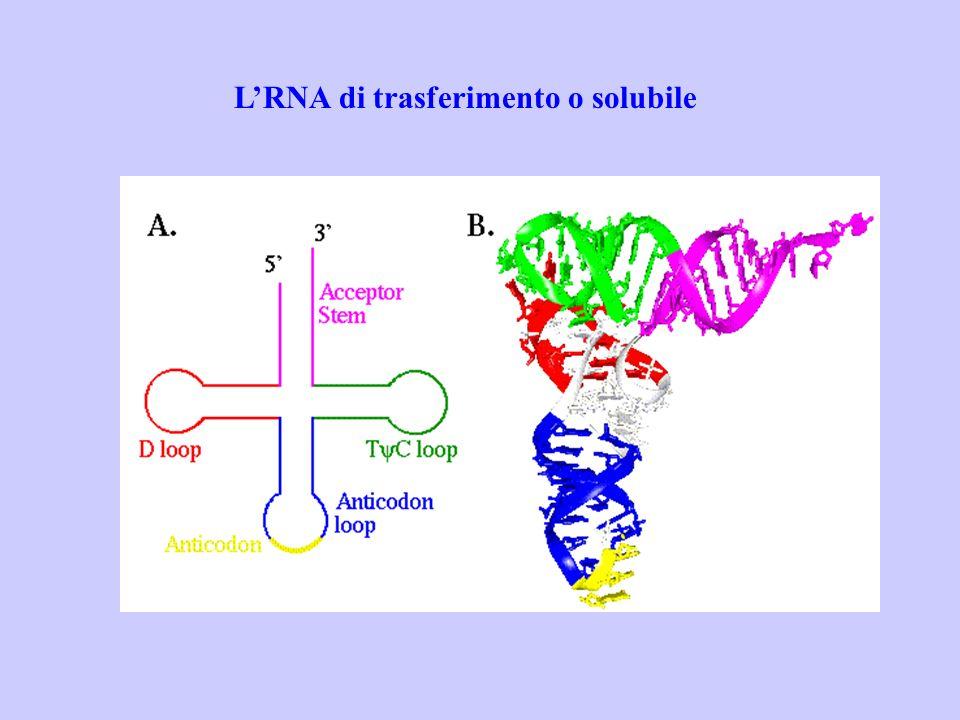 L'RNA di trasferimento o solubile