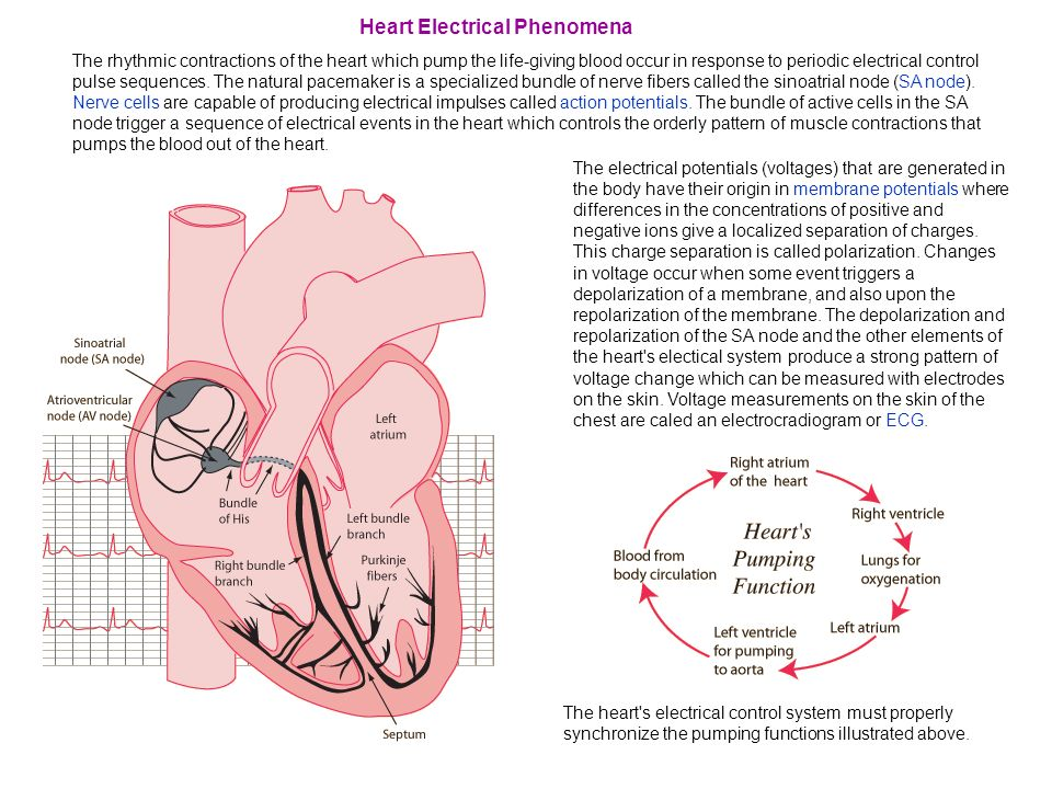 Heart Electrical Phenomena