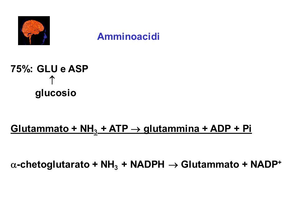 Amminoacidi 75%: GLU e ASP.  glucosio. Glutammato + NH3 + ATP  glutammina + ADP + Pi.
