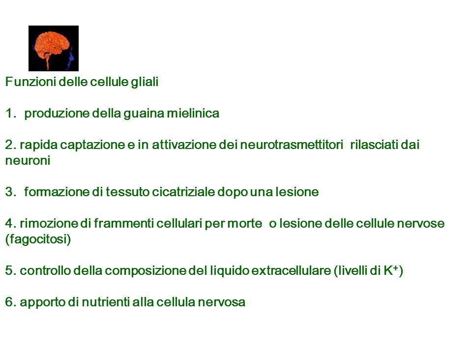Funzioni delle cellule gliali