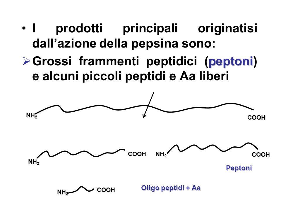 I prodotti principali originatisi dall'azione della pepsina sono: