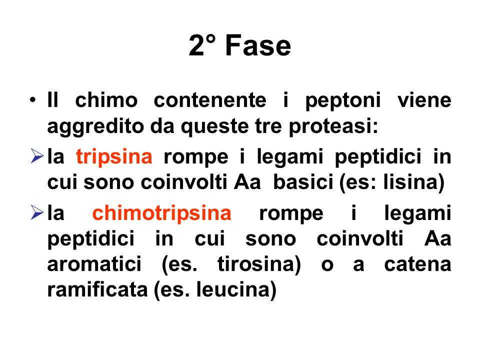 2° Fase Il chimo contenente i peptoni viene aggredito da queste tre proteasi: