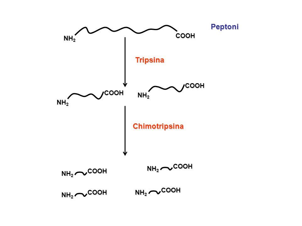 NH2 COOH Peptoni Tripsina NH2 COOH Chimotripsina NH2 COOH
