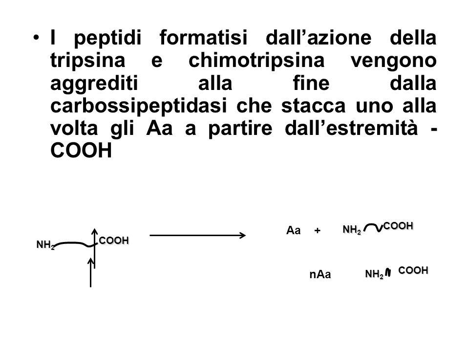 I peptidi formatisi dall'azione della tripsina e chimotripsina vengono aggrediti alla fine dalla carbossipeptidasi che stacca uno alla volta gli Aa a partire dall'estremità -COOH
