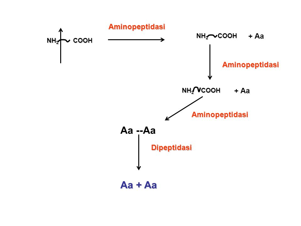 Aa --Aa Aa + Aa Aminopeptidasi + Aa Aminopeptidasi + Aa Aminopeptidasi