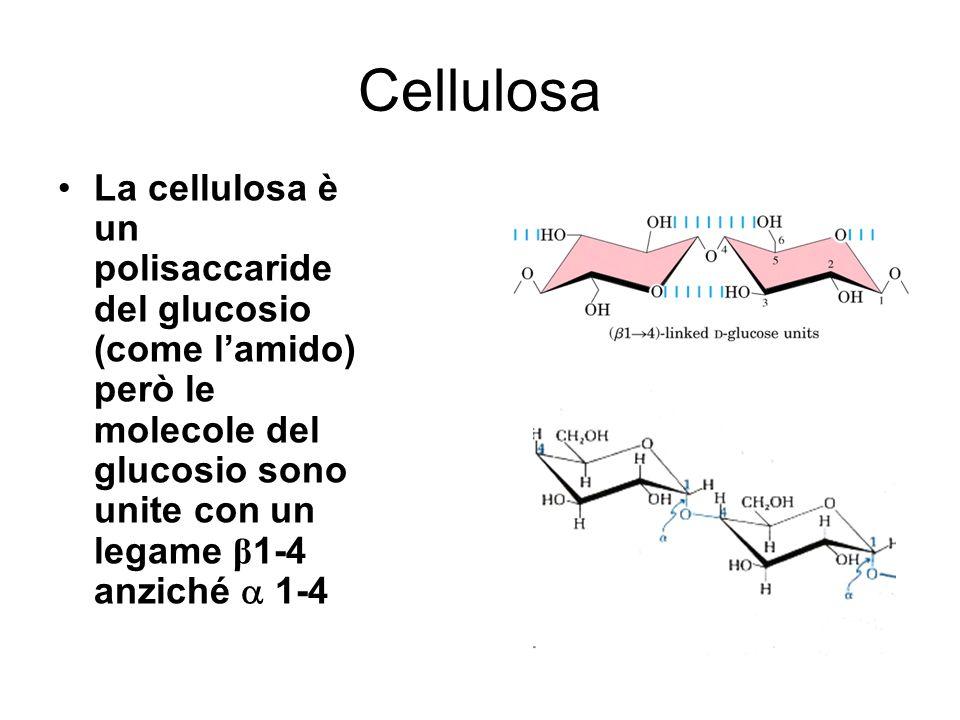 Cellulosa La cellulosa è un polisaccaride del glucosio (come l'amido) però le molecole del glucosio sono unite con un legame β1-4 anziché  1-4.