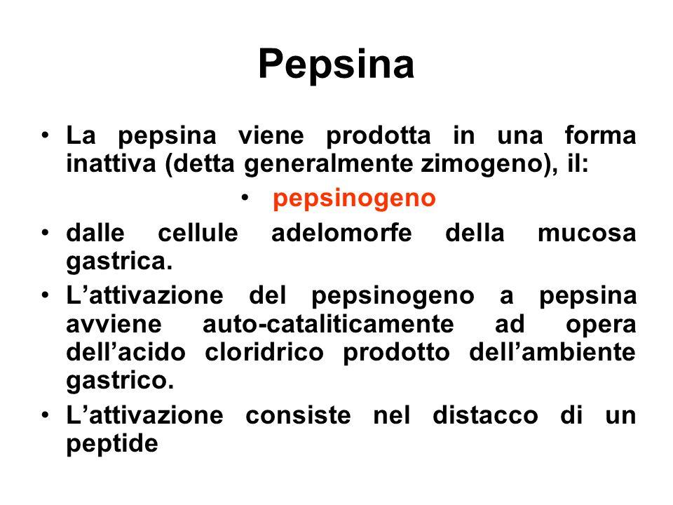 Pepsina La pepsina viene prodotta in una forma inattiva (detta generalmente zimogeno), il: pepsinogeno.